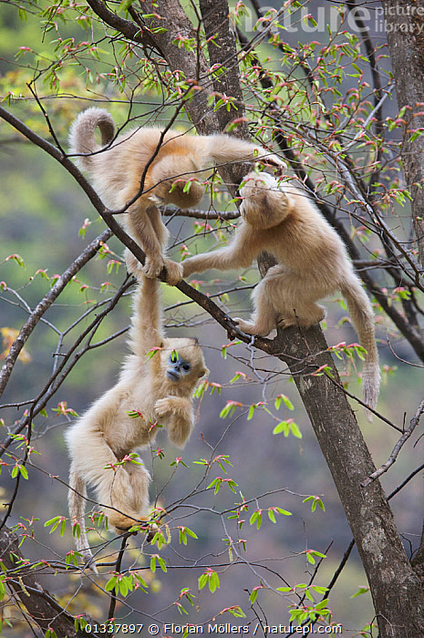 Golden snub-nosed monkey (Rhinopithecus roxellana qinlingensis) three infants playing in a tree, Zhouzhi Nature Reserve, Qinling mountains, Shaanxi, China, April 2006  ,  ASIA,BEHAVIOUR,CERCOPITHECIDEA,CHINA,ENDANGERED,GROUPS,MAMMALS,MONKEYS,PLAY,PLAYING,PRIMATES,RESERVE,SMALL GROUP,SNUB NOSED MONKEYS,THREE,VERTEBRATES,VERTICAL,Communication  ,  Florian Möllers