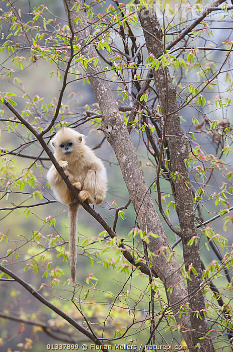Golden snub-nosed monkey (Rhinopithecus roxellana qinlingensis) infant resting in a tree, Zhouzhi Nature Reserve, Qinling mountains, Shaanxi, China, April 2006  ,  ASIA,CERCOPITHECIDEA,CHINA,CUTE,ENDANGERED,HABITAT,JUVENILE,LONELY,MAMMALS,MONKEYS,PRIMATES,RESERVE,SNUB NOSED MONKEYS,TREES,VERTEBRATES,VERTICAL,PLANTS  ,  Florian Möllers
