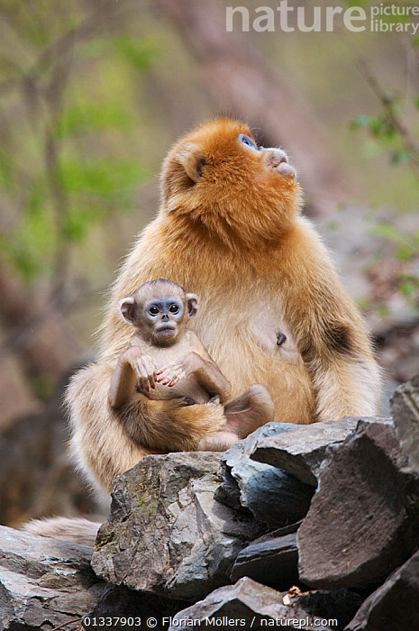 Golden snub-nosed monkey (Rhinopithecus roxellana qinlingensis) mother and playful newborn, Zhouzhi Nature Reserve, Qinling mountains, Shaanxi, China, April 2006  ,  ASIA,CERCOPITHECIDEA,CHINA,CUTE,ENDANGERED,FAMILIES,MAMMALS,MONKEYS,MOTHER BABY,PORTRAITS,PRIMATES,RESERVE,SNUB NOSED MONKEYS,VERTEBRATES,VERTICAL  ,  Florian Möllers