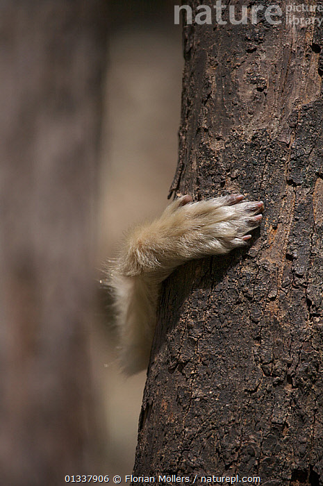 Golden snub-nosed monkey (Rhinopithecus roxellana qinlingensis) hand of subadult clinging to a tree, Zhouzhi Nature Reserve, Qinling mountains, Shaanxi, China, April 2006  ,  ASIA,CERCOPITHECIDAE,CHINA,CLIMGING,CRYPTIC,ENDANGERED,HANDS,MAMMALS,MONKEYS,PRIMATES,RESERVE,SNUB NOSED MONKEYS,TREES,TRUNKS,VERTEBRATES,VERTICAL,PLANTS  ,  Florian Möllers