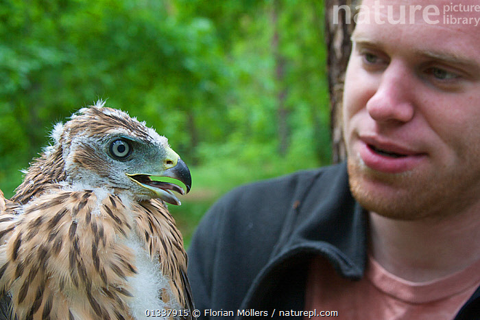 Robert Dietrich with an immature Northern goshawk(Accipiter gentilis) Berlin, Germany, May  ,  BIRDS,BIRDS OF PREY,CAUCASIAN,EUROPE,GERMANY,HAWKS,MAN,MOULTING,OUTDOORS,PEOPLE,VERTEBRATES  ,  Florian Möllers
