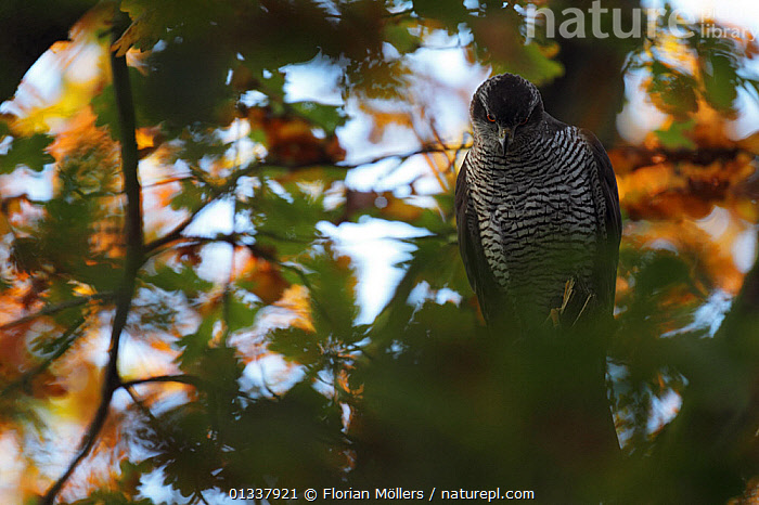 Northern goshawk(Accipiter gentilis) captive, female perched, Berlin, Germany, November  ,  BIRDS,BIRDS OF PREY,EUROPE,FEMALES,GERMANY,HAWKS,VERTEBRATES  ,  Florian Möllers