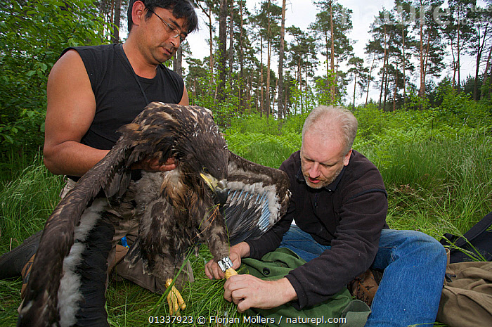 Biologist Rainer Altenkamp and forester George Majumder ringing a young White-tailed Sea eagle(Haliaeetus albicilla), Berlin, Germany. May 2008  ,  BIRDS,BIRDS OF PREY,EAGLES,EUROPE,GERMANY,MAN,MEN,OUTDOORS,PEOPLE,RESEARCH,RINGING,TAGGING,VERTEBRATES,Raptor  ,  Florian Möllers