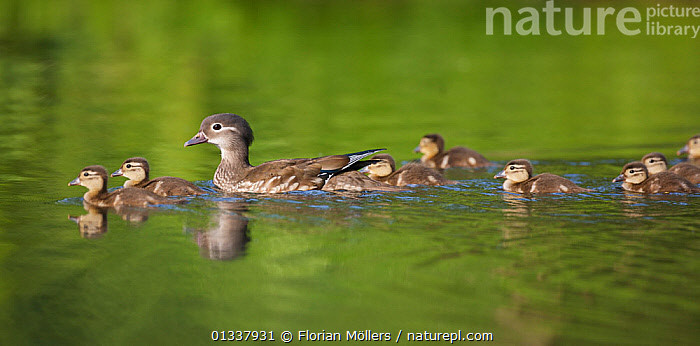 Mandarin duck (Aix galericulata) female on water with ducklings, Berlin, Germany, May  ,  BIRDS,CHICKS,DUCKLING,DUCKS,EUROPE,FAMILIES,GERMANY,LAKES,MOTHER BABIES,REFLECTIONS,RIVERS,VERTEBRATES,WATER,WATERFOWL  ,  Florian Möllers