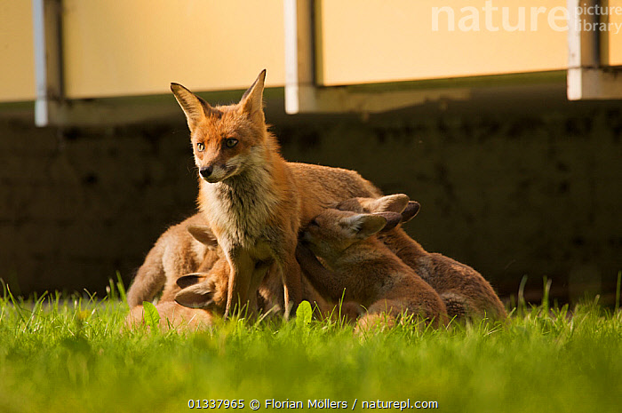 Red fox (Vulpes vulpes) vixen nursing cubs in garden of block of flats, Berlin, Germany. May 2006  ,  BEHAVIOUR,CANIDAE,CARNIVORES,CITIES,EUROPE,FAMILIES,FEEDING,FOX,FOXES,GARDENS,GERMANY,MAMMALS,MOTHER BABY,SUCKLING,URBAN,VERTEBRATES,Dogs,Canids  ,  Florian Möllers