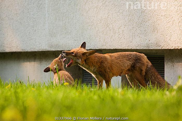Red fox (Vulpes vulpes) vixen playing with cubs in garden of block of flats, Berlin, Germany. May 2006  ,  BABIES,BEHAVIOUR,CANIDAE,CARNIVORES,CITIES,EUROPE,FAMILIES,FOX,FOXES,GARDENS,GERMANY,INTERACTION,MAMMALS,MOTHER BABY,PLAY,URBAN,VERTEBRATES,Communication,Dogs,Canids  ,  Florian Möllers