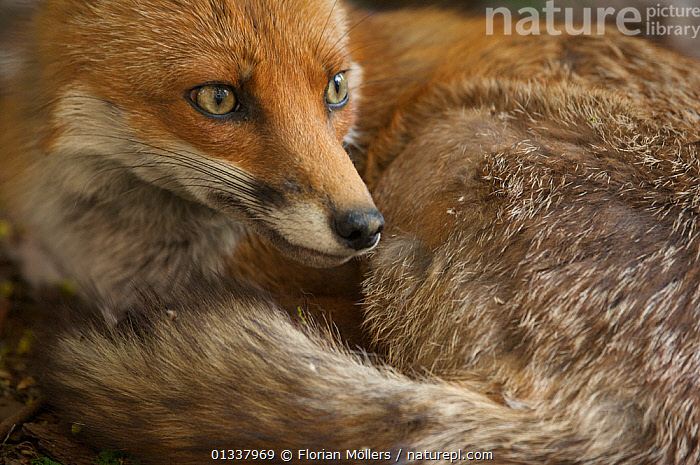 Red fox (Vulpes vulpes) vixen resting in garden of block of flats, Berlin, Germany. May 2006  ,  CANIDAE,CARNIVORES,CLOSE UPS,EUROPE,FEMALES,FOX,FOXES,GERMANY,MAMMALS,PORTRAITS,URBAN,VERTEBRATES,Dogs,Canids  ,  Florian Möllers