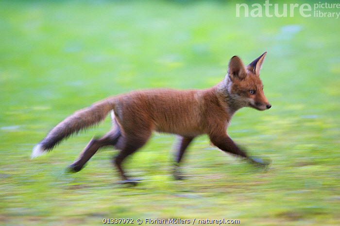 Red fox (Vulpes vulpes) cub in garden of block of flats, Berlin, Germany. May 2006  ,  BABIES,BLURRED,CANIDAE,CARNIVORES,EUROPE,FOX,FOXES,GERMANY,JUVENILE,MAMMALS,MOVEMENT,URBAN,VERTEBRATES,WALKING,Dogs,Canids  ,  Florian Möllers