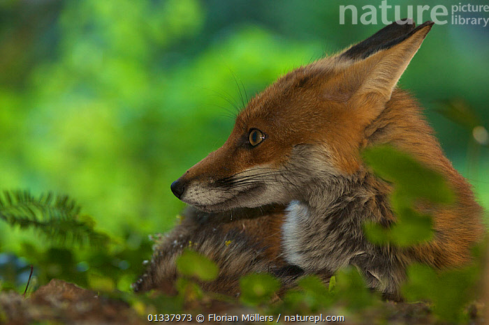 Red fox (Vulpes vulpes) vixen resting in garden of block of flats, Berlin, Germany. May 2006  ,  CANIDAE,CARNIVORES,EUROPE,FEMALES,FOX,FOXES,GARDENS,GERMANY,MAMMALS,RESTING,URBAN,VERTEBRATES,Dogs,Canids  ,  Florian Möllers