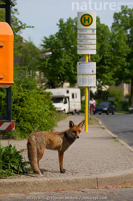Red fox (Vulpes vulpes) young male waiting near bus stop, Thuner Platz, Berlin, Germany, May 2006  ,  CANIDAE,CARNIVORES,CITIES,EUROPE,FOX,FOXES,GERMANY,JUVENILE,MALES,MAMMALS,ROADS,SIGNS,URBAN,VERTEBRATES,VERTICAL,Dogs,Canids  ,  Florian Möllers