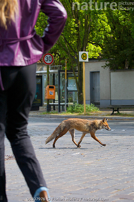 Red fox (Vulpes vulpes) young male crossing street near person, Thuner Platz, Berlin, Germany, May 2006  ,  CANIDAE,CARNIVORES,CITIES,EUROPE,FOX,FOXES,GARDENS,GERMANY,MAMMALS,OUTDOORS,PEOPLE,ROADS,URBAN,VERTEBRATES,WALKING,WOMAN,Dogs,Canids  ,  Florian Möllers