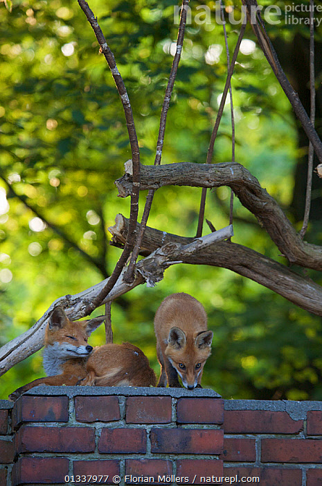 Red fox (Vulpes vulpes) vixen and cub on garden wall, Berlin, Germany, May 2006  ,  CANIDAE,CARNIVORES,EUROPE,FAMILIES,FOX,FOXES,GARDENS,GERMANY,MAMMALS,URBAN,VERTEBRATES,VERTICAL,Dogs,Canids  ,  Florian Möllers