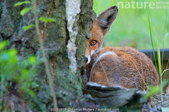 Red fox (Vulpes vulpes) resting in garden, Berlin, Germany, May 2006  ,  CANIDAE,CARNIVORES,EUROPE,FOX,FOXES,GARDENS,GERMANY,MAMMALS,URBAN,VERTEBRATES,Dogs,Canids  ,  Florian Möllers