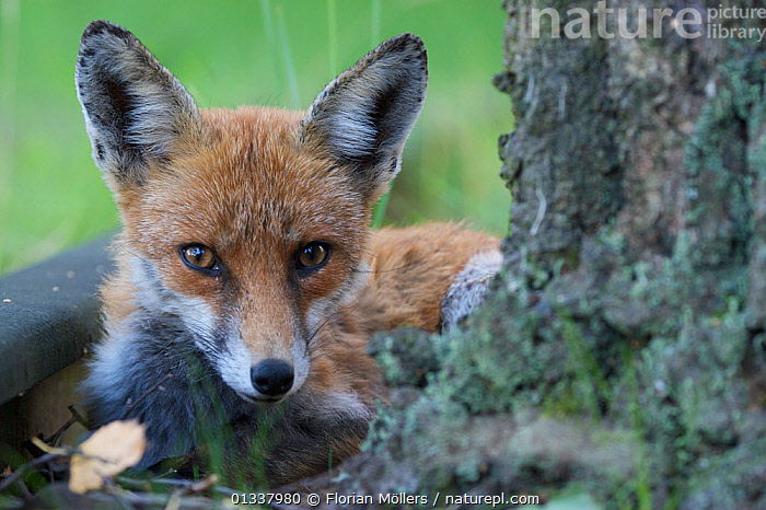 Red fox (Vulpes vulpes) young female in garden, Berlin, Germany, May 2006  ,  CANIDAE,CARNIVORES,EUROPE,FOX,FOXES,GARDENS,GERMANY,JUVENILE,MAMMALS,URBAN,VERTEBRATES,Dogs,Canids  ,  Florian Möllers