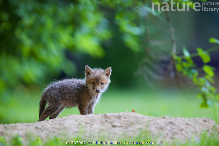 Red fox (Vulpes vulpes) cub near entrance to den in garden, Berlin, Germany, May 2006  ,  BABIES,CANIDAE,CARNIVORES,CUTE,EUROPE,FOX,FOXES,GARDENS,GERMANY,MAMMALS,URBAN,VERTEBRATES,Dogs,Canids  ,  Florian Möllers