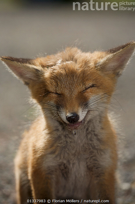 Red fox (Vulpes vulpes) cub suffering from poisoning, Berlin, Germany, May 2006  ,  CANIDAE,CARNIVORES,EUROPE,FOX,FOXES,GERMANY,HORRIFIC,JUVENILE,MAMMALS,POISON,POISONOUS,PORTRAITS,SICK,URBAN,VERTEBRATES,VERTICAL,Dogs,Canids  ,  Florian Möllers