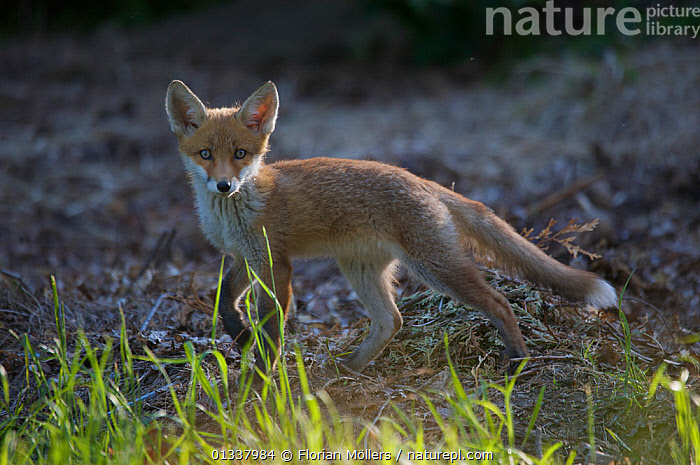 Red fox (Vulpes vulpes) cub, Berlin, Germany, May 2006  ,  CANIDAE,CARNIVORES,EUROPE,FOX,FOXES,GERMANY,JUVENILE,LOOKING AT CAMERA,MAMMALS,PORTRAITS,URBAN,VERTEBRATES,Dogs,Canids  ,  Florian Möllers
