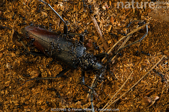 Great capricorn beetle (Cerambyx cerdo) Grunewald forest, Berlin, Germany, June  ,  BEETLES,CERAMBYCIDAE,COLEOPTERA,EUROPE,GERMANY,INSECTS,INVERTEBRATES,LONGHORN BEETLES,WOODLANDS  ,  Florian Möllers