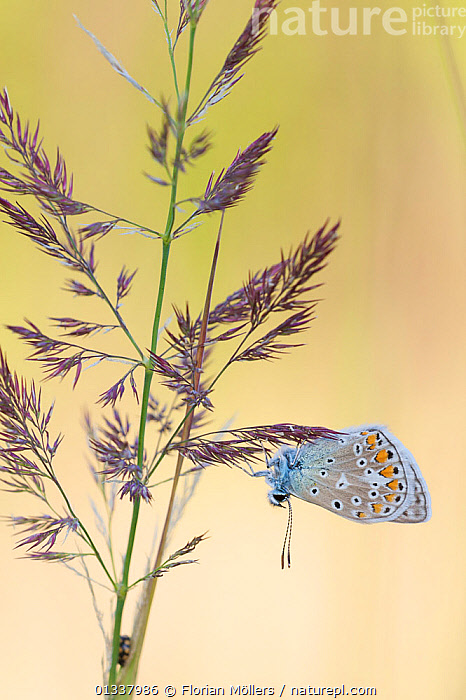 Blue butterfly (Lycaenidae) on grass flowers, Berlin, Germany.  ,  BUTTERFLIES,EUROPE,FLOWERS,GERMANY,GRASS,INSECTS,INVERTEBRATES,LEPIDOPTERA,VERTICAL,Plants  ,  Florian Möllers