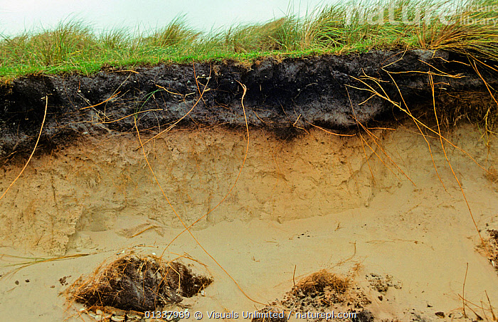 Soil profile showing peaty topsoil with plant roots over sandy subsoil. New Zealand.  ,  CLOSE UP,DEPOSITION,'DICK',GEOLOGY,HUMUS,NEW,NSIL/G.,PEAT,PEATY,PROFILE,PROFILES,ROBERTS,SANDY,SOIL,SOILS,SUBSOIL,SUB SOIL,SUBSOILS,TOPSOIL,TOPSOILS,ZEALAND  ,  Visuals Unlimited