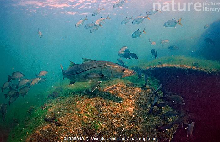 Common Snook (Centropomus undecimalis) Crystal River, Florida, USA, March  ,  ANIMAL,CENTROPOMUS,FISH,FLORIDA,MARINE,NORTH AMERICA,OSTEICHTHYES,SINGLE,SNOOK,SNOOKS,UNDECIMALIS,UNDERWATER,USA,VERTEBRATES  ,  Visuals Unlimited