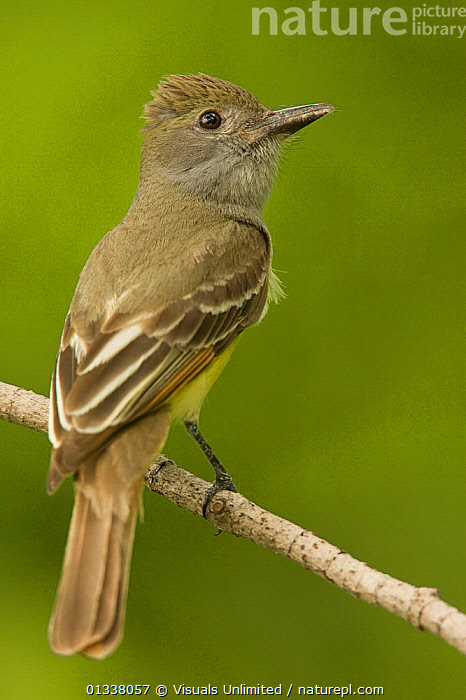 Great Crested Flycatcher (Myiarchus crinitus) USA, July  ,  79756351,ANIMAL,BACK,BIRD,BIRDS,CLOSE UP,CRESTED,CRINITUS,FLYCATCHER,FLYCATCHERS,GREAT,JOE,MCDONALD,MYIARCHUS,NORTH AMERICA,ONE,ORNITHOLOGY,USA,VERTEBRATES,VERTICAL  ,  Visuals Unlimited