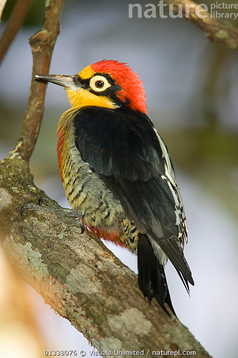 Yellow-fronted Woodpecker (Melanerpes flavifrons) South America.  ,  79756707,AMERICA,ANIMAL,BILL,BILLS,BIRD,BIRDS,CLOSE UP,COLOURFUL,EYE,EYES,FEATHER,FEATHERS,FLAVIFRONS,FRONTED,JOE,MCDONALD,MELANERPES,ONE,ORNITHOLOGY,SOUTH,SOUTH AMERICA,VERTEBRATES,VERTICAL,WILDLIFE,WOODPECKER,WOODPECKERS,YELLOW,YELLOW FRONTED  ,  Visuals Unlimited