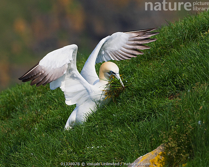 Northern Gannet (Morus bassanus) gathering nesting material in its bill on the side of a hill, USA, July  ,  79756769, animal, bassana, bassanus, Behavior, BEHAVIOUR, bill, bills, bird, BIRDS, Breeding, building, close-up, Cornell, Gannet, GANNETS, John, material, materials, morus, Nest, nesting, NESTS, NORTH-AMERICA, Northern, one, ornithology, SEABIRDS, SQUARE,  USA, VERTEBRATES, WILDLIFE, wing, WINGS,North America  ,  Visuals Unlimited
