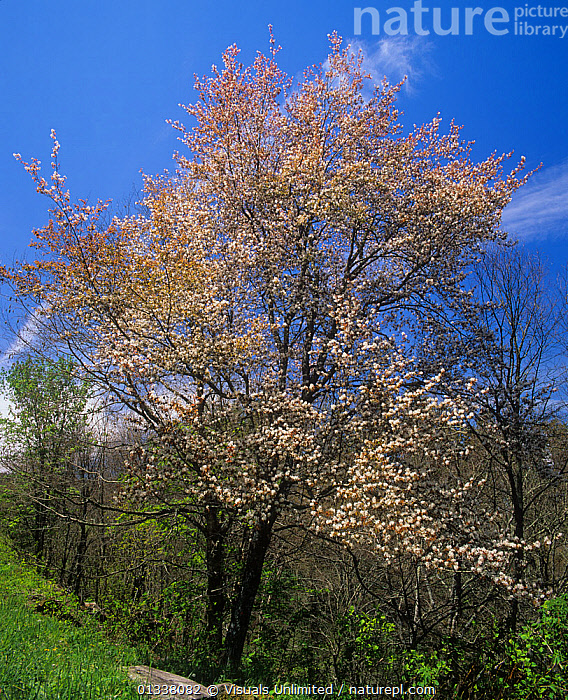 Downy Serviceberry Tree (Amelanchier arborea) in full bloom, Eastern North America.  ,  ADAM,AMELANCHIER,AMERICA,ARBOREA,AWE,BEAUTY,BERRIES,BERRY,CLOSE UP,DESTINATION,DICOTYLEDONS,DOWNY,EASTERN,ENVIRONMENT,FLOWER,FLOWERING,FLOWERS,FRESHNESS,IDYLLIC,JONES,LANDSCAPES,NATURAL,NORTH,ONE,PEACEFUL,PLANT,PLANTS,PURE,REFLECTION,RELAXATION,ROSACEAE,SERVICE,SERVICEBERRIES,SERVICEBERRY,SPRING,TRANQUIL,TRAVEL,TREE,TREES,USA,VACATION,VERTICAL,North America  ,  Visuals Unlimited