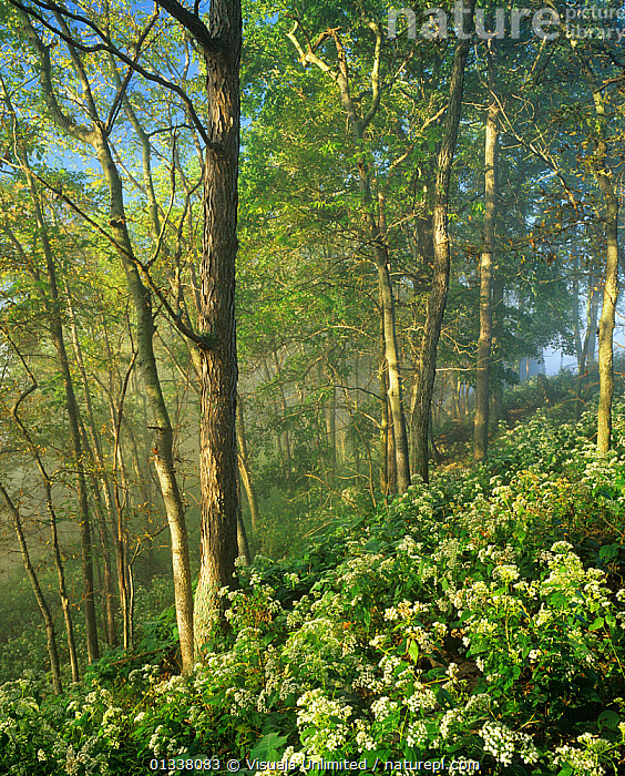 Foggy hillside of White Snakeroot in bloom in the spring deciduous forest at sunrise, Kentucky River Palisades, Garrard County, Kentucky, USA.  ,  79754654,ADAM,DECIDUOUS,FLOOR,FLOWERS,FOG,FOGGY,FOREST,FORESTS,JONES,KENTUCKY,KY,LANDSCAPES,NORTH AMERICA,SNAKEROOT,SPRING,TREES,USA,VERTICAL,WILDFLOWER,WILDFLOWERS,WOODLANDS,PLANTS  ,  Visuals Unlimited