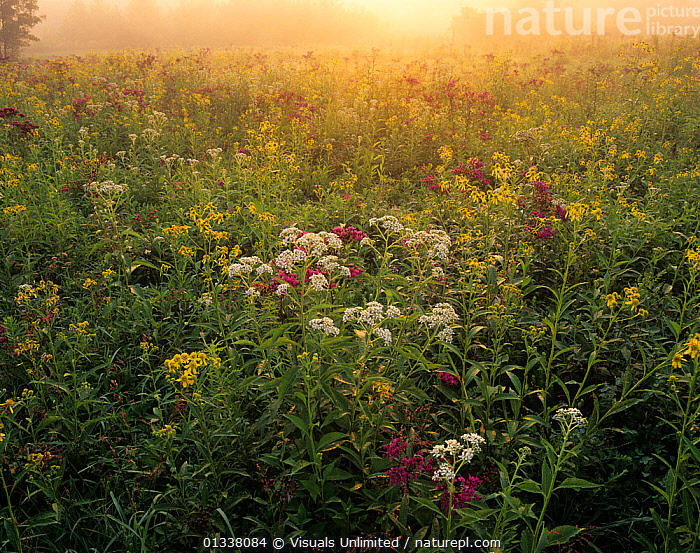Backlit field of Ironweed, Sneezeweed, and Alternate Leaved Wingstem wildflowers, Kentucky, USA.  ,  79754605,ADAM,BACKLIT,FLOWERS,IRONWEED,JONES,KENTUCKY,KY,LANDSCAPES,MANY,MEADOW,MEADOWLAND,MEADOWS,NORTH AMERICA,PLANTS,SNEEZEWEED,USA,WILDFLOWER,WILDFLOWERS,WINGSTEM,Grassland  ,  Visuals Unlimited