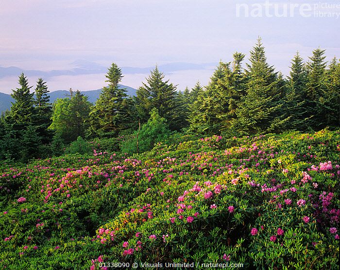 Catawba Rhododendrons in flower at dawn on Roan Mountain, Tennessee, USA.  ,  79754622,ADAM,CATAWBA,FLOWERING,FLOWERS,JONES,LANDSCAPES,MANY,MOUNTAIN,NORTH AMERICA,PLANTS,RHODODENDRON,RHODODENDRONS,ROAN,SHRUB,SHRUBS,TENNESSEE,TN,USA  ,  Visuals Unlimited