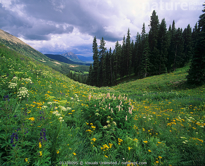 Orange Sneezeweed and Two-grooved Milkvetch and distant Mt. Crested Butte, Gunnison National Forest, Colorado, USA.  ,  79754722,AWE,BEAUTY,BUTTE,COLORADO,CONIFEROUS,CRESTED,DESTINATION,ENVIRONMENT,FLOWERS,FOREST,FORESTS,FRESHNESS,GUNNISON,IDYLLIC,LANDSCAPES,MEADOW,MEADOWLAND,MEADOWS,MILK,MILKVETCH,MILKVETCHES,MOUNTAIN,MOUNTAINS,MT.,NATIONAL,NATURAL,NORTH AMERICA,ORANGE,PEACEFUL,PURE,REFLECTION,RELAXATION,RESERVE,ROCKY,SKIES,SKY,SNEEZE,SNEEZEWEED,SNEEZEWEEDS,STORMY,TRANQUIL,TRAVEL,TWO GROOVED,USA,VACATION,VETCH,WEED,WILDFLOWER,WILDFLOWERS,Grassland  ,  Visuals Unlimited