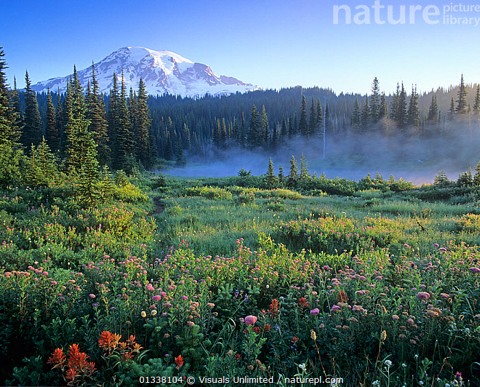 Wildflowers in a meadow at dawn near a misty lake in the coniferous forest of Mt. Rainier National Park, Washington, USA.  ,  79754840,ADAM,BIOLOGY,CASCADES,CONIFEROUS,DAWN,FOREST,FORESTS,JONES,LAKE,LAKES,LANDSCAPES,LIFE,MEADOW,MEADOWS,MIST,MISTY,MOUNTAIN,MOUNTAINS,MT.,NATIONAL,NORTH AMERICA,PARK,PARKS,PEAK,PEAKS,RAINIER,SNOWY,USA,VOLCANIC,VOLCANO,VOLCANOES,WA,WASHINGTON,WILDFLOWER,WILDFLOWERS,Geology  ,  Visuals Unlimited