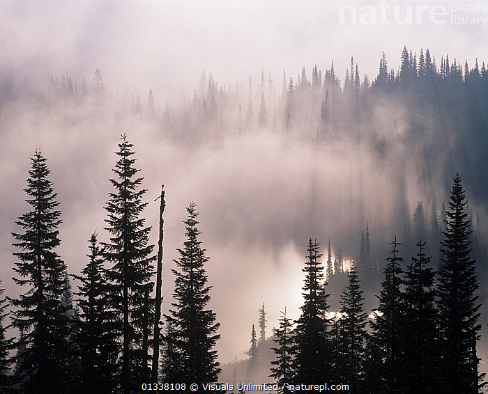 Mountain mist and fog in the coniferous forest of Mt. Rainier National Park, Washington, USA.  ,  79754705,ADAM,CONIFEROUS,FOG,FOGGY,FOGS,FOREST,FORESTS,JONES,LANDSCAPES,MIST,MISTS,MISTY,MT.,NATIONAL,NORTH AMERICA,PARK,PARKS,RAINIER,USA,WA,WASHINGTON,WEATHER  ,  Visuals Unlimited