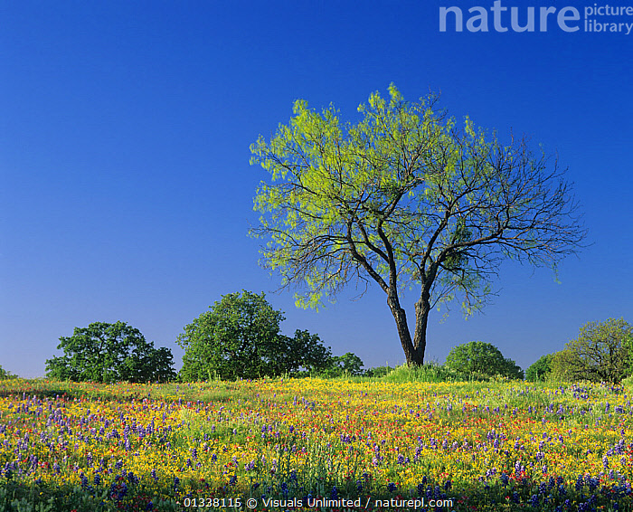 Mesquite tree among Low Bladderpod, Paintbrush, and Bluebonnet spring wildflowers, Hill Country, Texas, USA.  ,  79754699,ADAM,AWE,BEAUTY,BLADDERPOD,BLADDERPODS,BLUEBONNET,BLUEBONNETS,CLOSE UP,COLORFUL,COUNTRY,DESTINATION,ENVIRONMENT,FRAME,FRESHNESS,HILL,IDYLLIC,JONES,LANDSCAPES,LARGE,LUPINE,LUPINES,MAJESTIC,MEADOW,MEADOWS,MESQUITE,MYSTICAL,NATURAL,NORTH AMERICA,PAINTBRUSH,PAINTBRUSHES,PEACEFUL,PERFECTION,PLANT,PLANTS,PURE,REFLECT,RELAXATION,SPRING,TEXAS,TRANQUIL,TRAVEL,TREES,TX,USA,VACATION,WILDFLOWER,WILDFLOWERS  ,  Visuals Unlimited