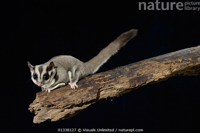 Sugar Glider (Petaurus breviceps) a marsupial mammal from Australia.  ,  ANIMAL,ANIMALS,AUSTRALIA,BLACK,BREVICEPS,CLOSE UP,GLIDER,GLIDERS,JOE,MAMMAL,MAMMALS,MARSUPIAL,MARSUPIALS,MCDONALD,NATURAL,NIGHT,NOCTURNAL,ONE,PETAURUS,SUGAR,VERTEBRATES,WILDLIFE  ,  Visuals Unlimited