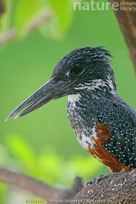 Giant Kingfisher (Megaceryle maxima) head showing its large bill, Lake Manyara, Tanzania, East Africa.  ,  79755085, AFRICA, animal, arthur, bill, bills, bird, BIRDS, close-up, EAST-AFRICA, Giant, Kingfisher, KINGFISHERS, Lake, manyara, maxima, Megaceryle, morris, one, ornithology, PORTRAITS, tanzania, VERTEBRATES, VERTICAL  ,  Visuals Unlimited