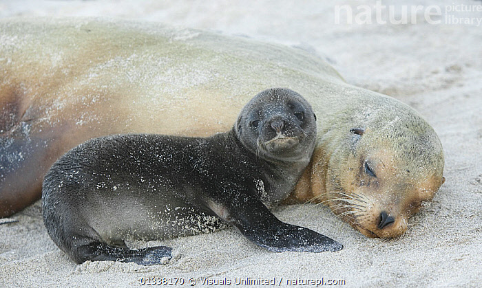 Galapagos Sealion (Zalophus californianus) newborn pup next to its mother, Espanola Island, Galapagos Islands, Pacific Ocean.  ,  80669264,ANIMAL,ANIMALS,ARTHUR,BABIES,BABY,BEGINNINGS,BOND,CALIFORNIA,CALIFORNIANUS,CARE,CARNIVORES,CLOSE UP,CURIOUS,CUTE,DEPENDENCY,ENDANGERED,ESPANOLA,FAMILIES,GALAPAGOS,ISLAND,ISLANDS,LIFE,LION,LIONS,LOOKING AT CAMERA,MAMMAL,MAMMALS,MARINE,MORRIS,MOTHER,MOTHER BABY,NEW,ONE,OTARIIDAE,PARENTAL,PINNIPEDS,PROTECTION,PUP,PUPS,RELAXATION,RESTING,SAFETY,SEA,SEALIONS,SECURE,SLEEPING,THEMES,TIRED,VERTEBRATES,WILD,WILDLIFE,ZALOPHUS,,Exhausted,  ,  Visuals Unlimited