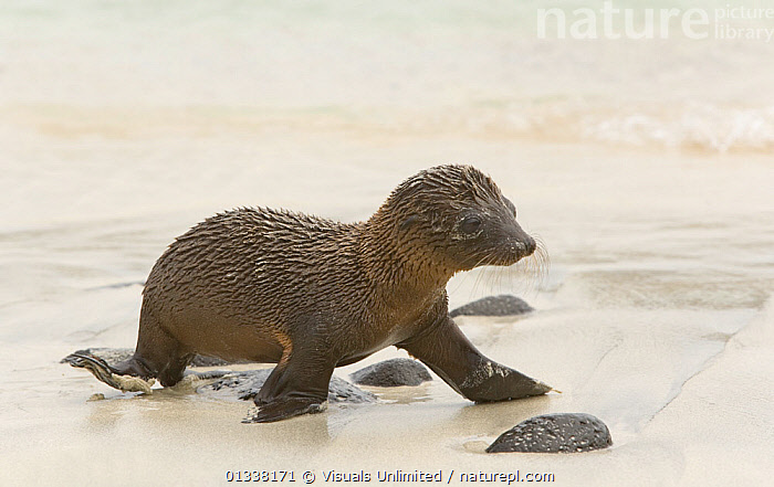 Galapagos Sealion (Zalophus californianus) pup, 4 days, Santiago Island, Galapagos Islands, Ecuador, Pacific Ocean.  ,  80669270,ANIMAL,ANIMALS,ARTHUR,BABIES,BABY,BEGINNINGS,CALIFORNIANUS,CARNIVORES,CLOSE UP,CONFUSION,CUTE,ENDANGERED,FRONTAL,GALAPAGOS,HOME,ISLANDS,LIFE,LION,LIONS,LOST,MAMMAL,MAMMALS,MARINE,MORRIS,MOVEMENT,NEW,NEWBORN,ONE,OTARIIDAE,PINNIPEDS,SAD,SCARED,SEA,SEALIONS,SURVIVAL,THEMES,VERTEBRATES,VULNERABLE,WALKING,WILD,WILDLIFE,ZALOPHUS,Concepts,Decision  ,  Visuals Unlimited