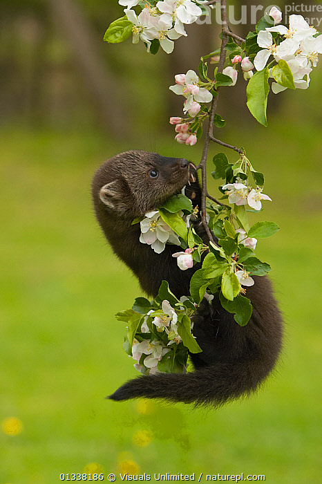 Fisher (Martes pennanti) juvenile hanging from a flowering tree branch, North America.  ,  AMERICA,ANIMAL,ANIMALS,BABY,BEAUTY,BEHAVIOUR,CARNIVORES,CLOSE UP,CUTE,FISHER,FISHERS,FLOWERS,FOREST,JACK,MAMMAL,MAMMALS,MARTENS,MARTES,MILCHANOWSKI,MUSTELIDS,NATURAL,NORTH,ONE,PENNANTI,USA,VERTEBRATES,VERTICAL,WILDLIFE,YOUNG,North America  ,  Visuals Unlimited