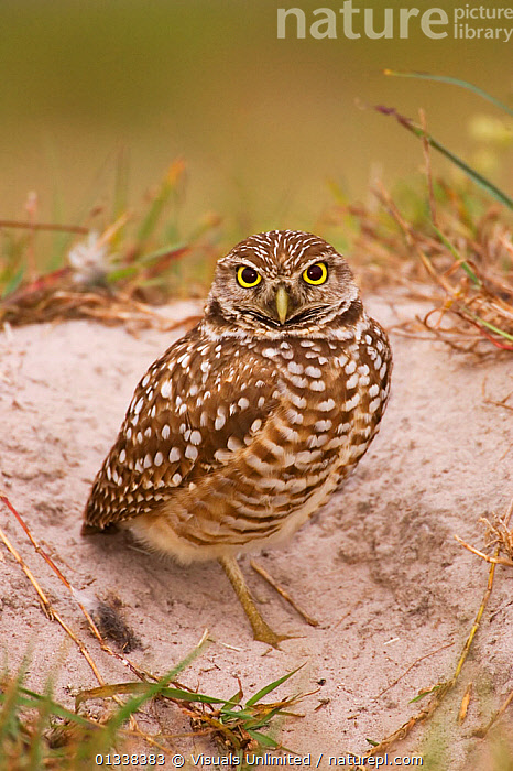 Burrowing Owl (Athene cunicularia) outside of the burrow.  ,  ,alert, animal, Athene, , BIRDS, BIRDS-OF-PREY, BROWN, burrowing, cunicularia, natural, nature, one, outdoors, owl, OWLS, pattern, sand, STANDING, VERTEBRATES, VERTICAL, WHITE, Wild  ,  Visuals Unlimited