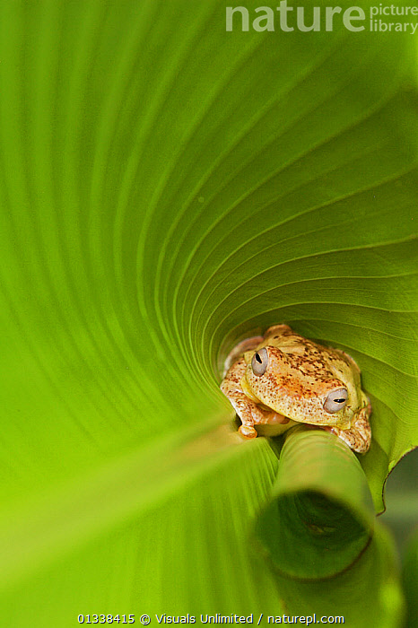 Tree frog (Hyalinobatrachium valerioi) at base of leaf  ,  77939562,AMPHIBIAN,AMPHIBIANS,ANGLE,ANIMAL,ANURA,BROWN,CAMERA,CURLED,DON,EYES,FRAME,FROG,FROGS,GLASS FROGS,GRALL,GREEN,HEADSHOT,HIDING,HIGH,HYALINOBATRACHIUM,LEAF,LEAVES,LOOKING,NATURAL,ONE,OUTDOORS,PALMS,PATTERN,PROTECTION,THEMES,TREE,VALERIOI,VERTEBRATES,VERTICAL,WILDLIFE  ,  Visuals Unlimited