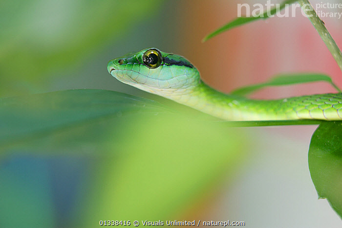 Parrot Snake (Leptophis ahaetuella) searching for a meal of frog or insects on the Osa Peninsula of Costa Rica.  ,  \R\NGREEN,77939701,AHAETUELLA,ANIMAL,ANIMALS,CENTRAL AMERICA,CLOSE UP,COLUBRIDS,COSTA,DON,EYE,FOCUS,GRALL,HEAD,HUNTING,LEPTOPHIS,NATURE,NON VENOMOUS,ONE,OSA,OUTDOORS,PARROT,PENINSULA,PHOBIA,PORTRAITS,REPTILE,REPTILES,RICA,SCALES,SEARCHING,SELECTIVE,SNAKE,SNAKES,STALKING,THEMES,VERTEBRATES,WILD,WILDLIFE  ,  Visuals Unlimited