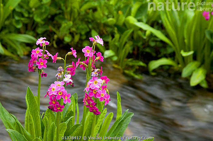 Parry Primrose (Primula parryi) decorating the bank of an outlet stream of Clear Lake in an alpine area of the San Juan Mountains of Colorado, USA.  ,  77939564,ACTIVITY,ALPINE,BEAUTY,BLOOM,BOTANY,BRIGHT,BROOK,CLOSE UP,COLORADO,DELICATE,DICOTYLEDONS,DON,FLORAL,FLOWER,FOCUS,FRAGILITY,FRAME,FRESHNESS,GARDENING,GRALL,INNOCENCE,JUAN,LEISURE,MEADOW,MOUNTAIN,MOUNTAINS,NATURAL,NATURE,OUTDOORS,PARRY,PARRYI,PETAL,PLANTS,PRIMROSE,PRIMULA,PRIMULACEAE,PURE,RIVERS,SAN,SCENIC,SCENT,SELECTIVE,SIMPLICITY,SMALL,SOFTNESS,STREAM,STREAMS,USA,VIBRANT,WILDFLOWER,North America  ,  Visuals Unlimited