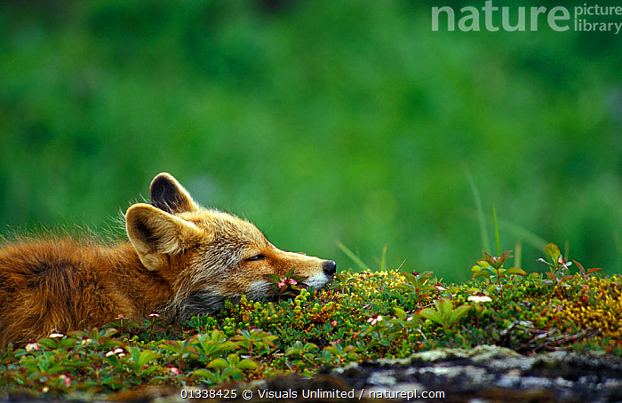Red fox (Vulpes vulpes) resting  ,  77939552,ANIMAL,ANIMALS,BROW,CANIDS,CARNIVORES,CUTE,DIRT,EARS,EYES,FOCUS,FOX,FOXES,FUR,GRASS,GREEN,HEAD,LISTENING,MAMMAL,MAMMALS,MOSS,NATURE,ONE,OUTDOORS,PEACEFUL,PREDATOR,RED,RESTING,SELECTIVE,SLEEPING,THEMES,VERTEBRATES,WILD,WILDLIFE,Plants,Dogs  ,  Visuals Unlimited