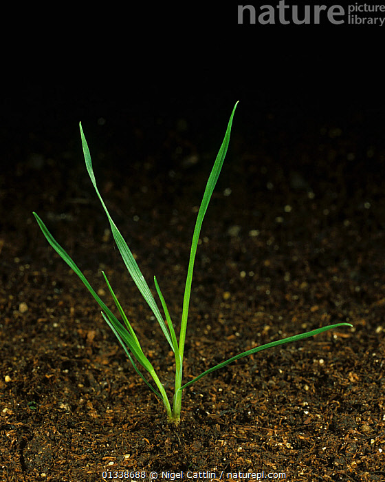 Silky bent (Apera spica-venti) seedling with one tiller  ,  AGRICULTURE,AGROSTIS,ANNUAL,APERA,ARABLE,BLACK,CLOSE,CROP,CROPS,GRAMINEAE,GRASS,LEAF,LEAVES,ONE,SEEDLING,SILKY,SPICA VENTI,TILLER,TILLERING,WEED,Plants  ,  Nigel Cattlin