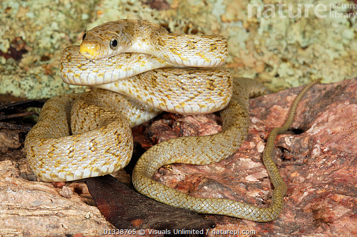 Young Western Green Rat Snake (Senticolis triaspis) showing the juvenile spotted patterning. Cochise County, Arizona, USA.  ,  ARIZONA,CLOSE UP,COILED,COLOR,COLUBRIDAE,CYNTHIA,DESERTS,GEROLD,GREEN,HERPETOLOGY,JUVENILE,MERKER,NATURAL,ONE,OUTDOORS,RAT,REPTILE,REPTILES,SNAKE,SNAKES,USA,VERTEBRATES,WESTERN,WILDLIFE,North America  ,  Visuals Unlimited
