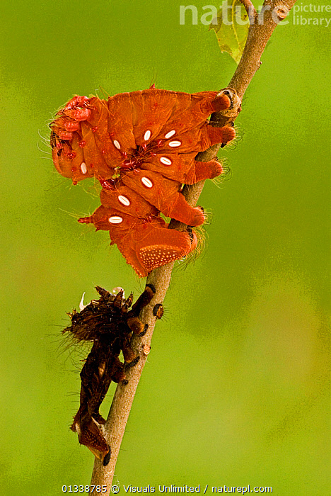 Imperial Moth (Eacles imperialis anchicayensis) fourth instar caterpillar just after shedding. Ecuador.  ,  ANCHICAYENSIS,CATERPILLAR,CATERPILLARS,COLOR,EACLES,ECDYSIS,ECUADOR,EMPEROR MOTHS,ENTOMOLOGY,FOURTH,GROWTH,IMPERIAL,IMPERIALIS,INSECT,INSECTS,INSTAR,INVERTEBRATES,LARVA,LARVAE,LEPIDOPTERA,LEROY,METAMORPHOSIS,MOTH,MOTHS,NATURAL,ONE,OUTDOORS,SHEDDING,SIMON,SOUTH AMERICA,VERTICAL,WILDLIFE,Concepts  ,  Visuals Unlimited