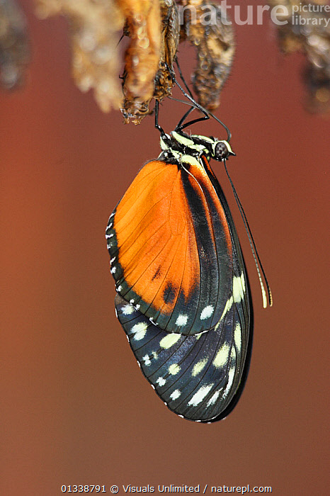 Butterfly (Heliconius hecale) emerging from its chrysalis.  ,  ARTHROPODS,BROWN,BUTTERFLIES,BUTTERFLY,CHRYSALIS,CLOSE UP,COLOR,DON,EMERGING,ENTOMOLOGY,GRALL,HECATE,HELICONIUS,INSECT,INSECTS,INVERTEBRATES,LEPIDOPTERA,METAMORPHOSIS,NATURAL,ONE,OUTDOORS,VERTICAL,WILDLIFE,Growth,Concepts  ,  Visuals Unlimited